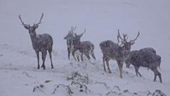 4k whitetail deer mature bucks on snow, january in mountains. uhd stock video Stock Footage
