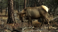 Wapiti - North American Elk Foraging for food in the forest Stock Footage