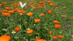 Calendula marigold medical flowers blossoms and butterfly Stock Footage