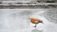 Ruddy shelduck walking on ice of a frozen pond Stock Footage