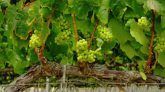 Bunch of green grapes on vine Stock Footage