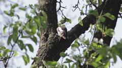 Woodpecker on the tree - stock footage