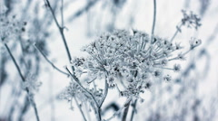 Cow parsnip, winter image - stock footage