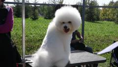 Adorable Bichon Frise Sitting On A Dog Show Outdoors Beautiful Sunny Day Stock Footage