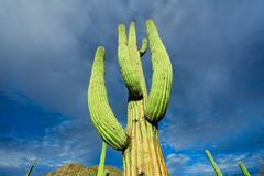 Cactus in the arizona desert against the sky Stock Photos