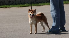 Young Dog Akita Dog Standing And Posing On The Road With The Owner Stock Footage