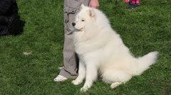 Beautiful White Samoyed Calmly Sitting And Posing On Green Grass With His Owner Stock Footage