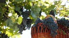 Fresh Dark Blue Grapes In Wicker Basket Stock Footage
