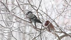 Two pigeons sit on branch at winter snowing day Stock Footage