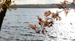 Backlight autumn-colored rowan branch and red berries at a windy shore with Stock Footage