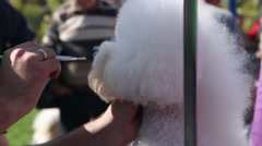 Makeup The Bichon Frisé Before The Exhibition At The Dog Show Close Up Stock Footage