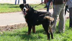 Bernese Mountain Dog On Leash Standing Barking With The Owner Dog Show Outdoors Stock Footage
