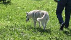 Beautiful Siberian Husky Walk With His Owner in The Park Stock Footage