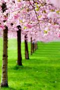 flowering cherry, sakura trees - stock photo