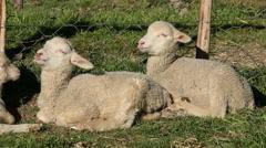 Merino sheep lambs resting Stock Footage