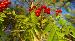 Closeup shot of red rowan berries swaying in the wind on a sunny autumn day Stock Footage