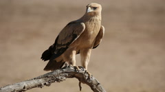 A tawny eagle perched on a branch Stock Footage