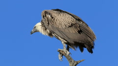 A white-backed vulture sitting on a branch against a blue sky, South Africa Stock Footage