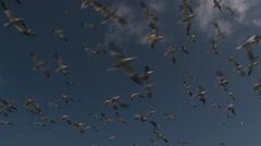 Gannets in flight Stock Footage