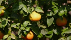 Zoom-out mandarins on tree Stock Footage