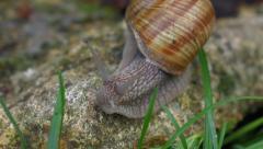 Garden snail creeps on a rock towards the camera - stock footage