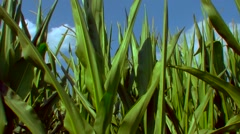 Flight over the corn field - the final crop - aerial view 03 Stock Footage