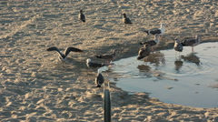 Seagulls Drinking Water - Birds Sipping from Pond at Sandy Beach - Pelicans Sand Stock Footage