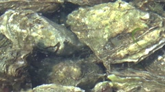 Oyster-farming in Yerseke Stock Footage