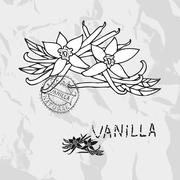 hand drawn vanilla with flowers, design elements. culinary spices - stock illustration