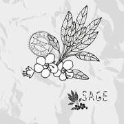 hand drawn sage plant with flowers, design elements. culinary spices - stock illustration