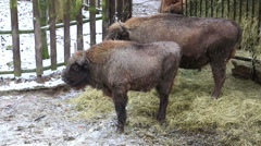 Bisons eat hay from a feeding trough during snowfall Stock Footage