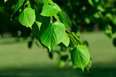 young leaves of the lime tree (lat. tilia) - stock photo
