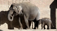Adult elephant and elephant calf in the open open-air cage of a zoo Stock Footage