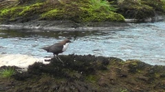 European dipper looking around and blinking Stock Footage