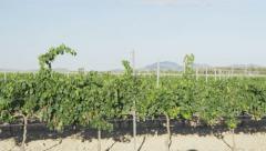 Vineyard - grape vines for winemaking of Red wine Stock Footage