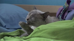 Cute Siamese Cat Big Eye Cleaing Paws On Bed Blankets And Pillows 4K Stock Footage