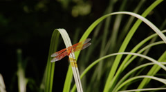 Red dragonfly in its natural habitat, Ashland Stock Footage