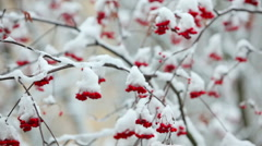Clusters of rowan berries covered in snow. Dolly shot. - stock footage