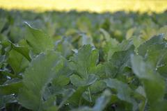Leafy Field - stock photo
