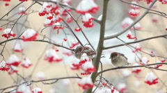 The snow is fallen on the rowan berries. On the branch sitting sparrows. Stock Footage