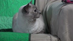 Cute Siamese Cat Big Eye On Sofa Looking To The Side 4K Stock Footage