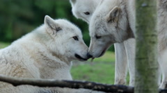 Gray Wolves,  Timber Wolf Stock Footage