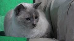 Cute Siamese Cat Big Eye Resting On Sofa 01 4K Stock Footage
