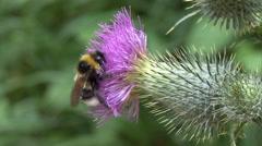 Bumblebee on flower 01 Stock Footage