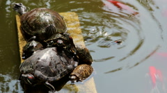 Tortoise and carps in pond Stock Footage