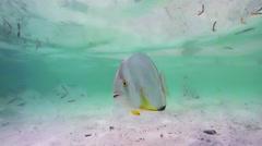 Orbicular Batfish Stock Footage