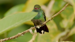Rufous-tailed Hummingbird CU Shows Male's Fabulous Colors Stock Footage