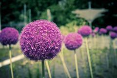 decorative onion flowers, allium - stock photo
