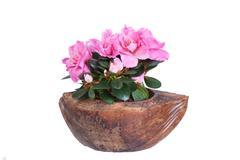 Blossoming pink azalea in a coco half Stock Photos
