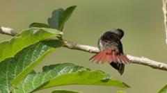 Rufous-tailed Hummingbird's Parasite Fry Stock Footage